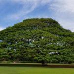 「この木なんの木」モアナルア・ガーデンズのモンキーポッド