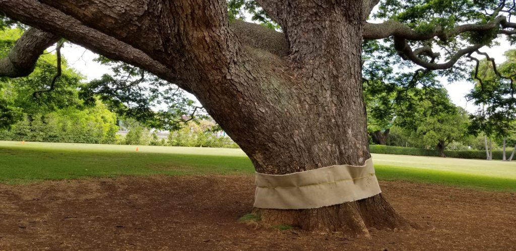 この木なんの木の太い幹(モアナルア・ガーデンズ、モンキーポッド)