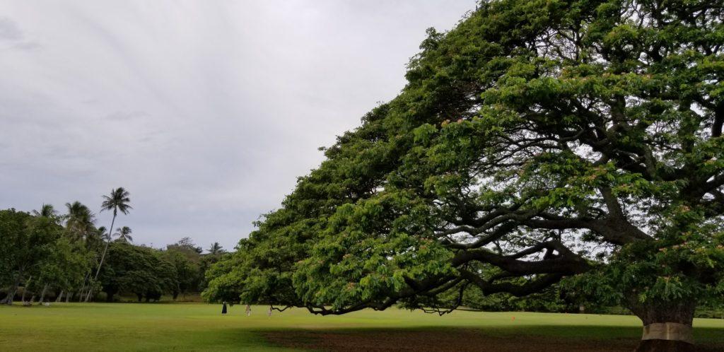 写真に納まりきらない「この木なんの木」モアナルア・ガーデンズ
