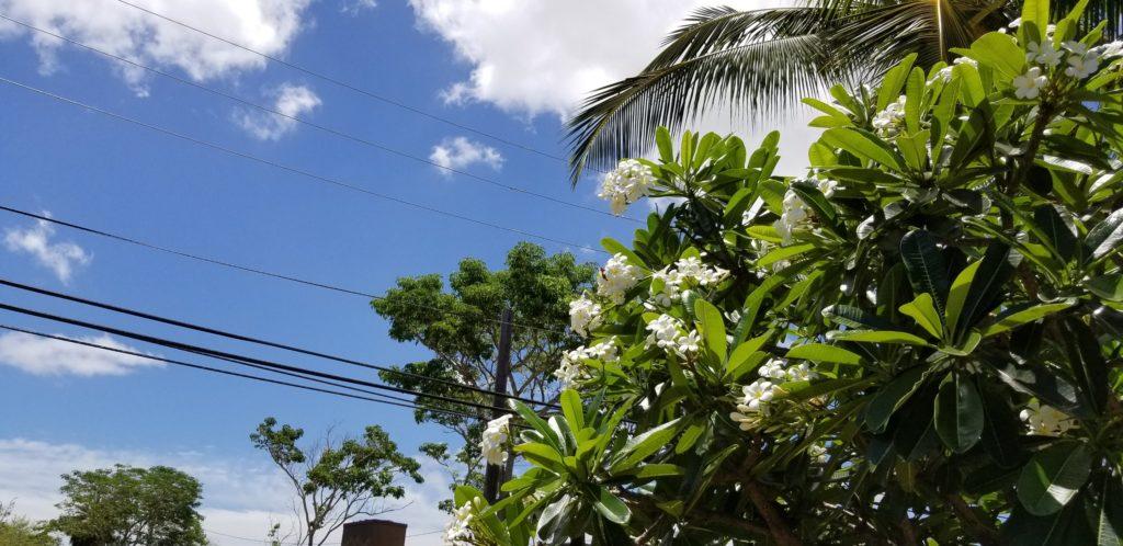 ハレイワに咲く花